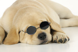 Labrador (8 Week Old Pup) with Round Sunglasses