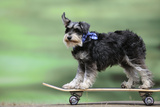 Schnauzer on Skateboard