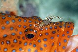 Cleaner Shrimp Cleaning Grouper