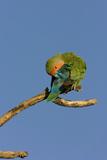 Rosy Faced Lovebird Preening