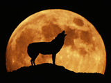 Wolf Howling at Full Moon  Side View in Silhouette