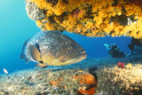 Grouper by Coral with Scuba Diver
