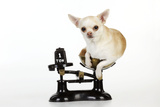 Chihuahua Sitting in Scales
