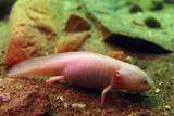 Axolotl Albino Specimen