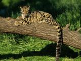 Clouded Leopard Resting on Log