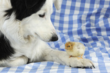 Chick Sitting on Border Collies Paw