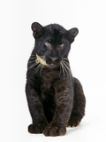 Black Panther Cub, 16 Weeks Old Papier Photo