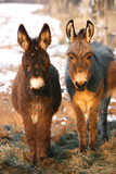 Poitou Donkey and Normal Donkey (On Right) Facing Camera