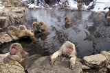 Japanese Macaque Monkeys Relaxing in Hot Springs