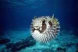 Black-Blotched Porcupine Fish Puffed Up