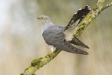 Common Cuckoo Adult Male Display