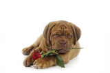 Dogue De Bordeaux Puppy Lying Down Holding a Rose