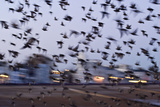 Starlings in a Fly By