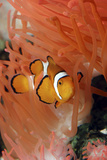 Anemone Fish Unharmed Among Tentacles of Sea Anemone