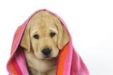 Labrador (8 Week Old Pup) with Towel