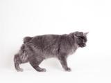 Manx Cat Blue Cymric