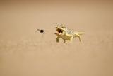 Namaqua Chameleon Hunting a Dune Beetle