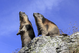 Alpine Marmot Two Together