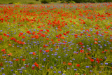 Flowers in Meadow Poppy and Cornflowers