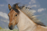 Wild Feral Horse Two Year Old Mare