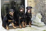 Rottweilers Sitting by Door