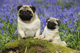 Pug Standing Next to Pug Puppy in Bluebells