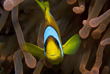 Two Banded Anemonefish  Red Sea Clownfish