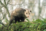 American Opossum on Tree Branch
