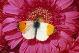 Male Orange Tip Butterlfy on Pink Gerbera Flower