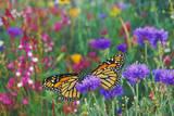 Milkweed Butterflies Resting