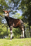 Okapi Male