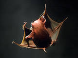Vampire Squid Going into Opineappleo Defense Posture