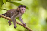 Crab-Eating Macaque Baby Monkey