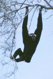 Pileated Gibbon Hanging in Tree