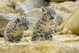 Snow Leopards Cubs