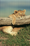 Lion Cub on Log
