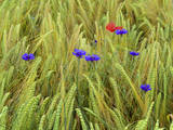Corn Flowers and Field Poppy