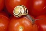 Humbug Snail on Tomatoes