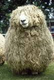 Devon and Cornwall Longwool Sheep