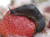 Large Black Slug on Mouldy Strawberries