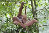 Sumatran Orangutan Mother and Playful 9 Month