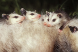 Virginia Opossum Young on Mother's Back