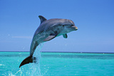 Bottlenosed Dolphin Leaping Out of Water Papier Photo