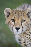 Cheetah 7-9 Month Old Cub