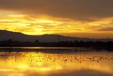 Shorebirds on Salt Pond at Sunrise