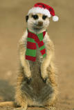 Suricate on Hind Legs Wearing Christmas Hat and Scarf