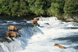 Grizzly Bears Fishing for Salmon at Brooks Falls
