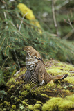 Ruffed Grouse Drumming (Spring Mating-Territorial Display)