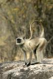 Grey or Common Langur Monkey
