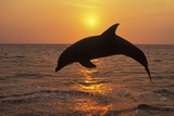 Bottlenosed Dolphin Leaping Out of Water at Sunset